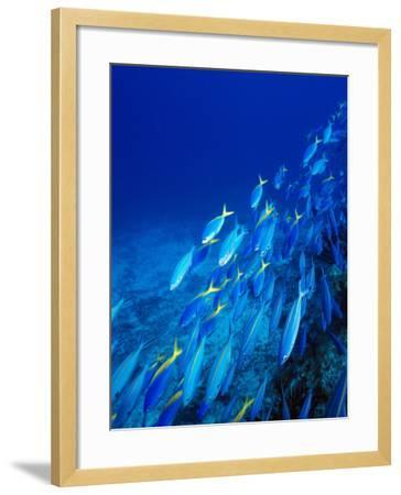 School of Tropical Fish Swimming Above Ocean Floor, Fiji--Framed Photographic Print