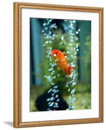 A Goldfish and Air Bubbles--Framed Photographic Print