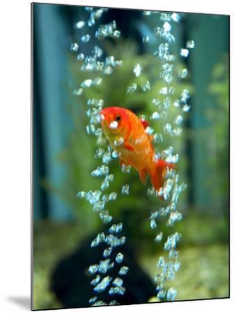 A Goldfish and Air Bubbles--Mounted Photographic Print