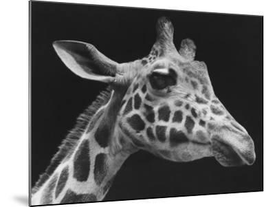 Giraffe's Head (B&W)-George Marks-Mounted Photographic Print