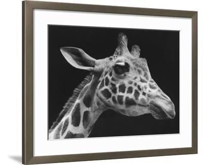 Giraffe's Head (B&W)-George Marks-Framed Photographic Print