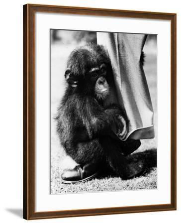 Baby Chimpanzee--Framed Photographic Print