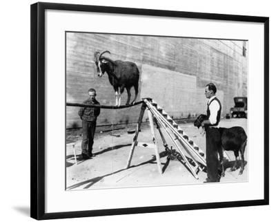 Goat on a Rope--Framed Photographic Print