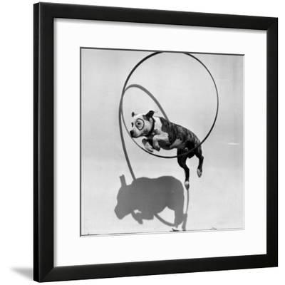 Performing Dog--Framed Photographic Print