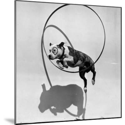 Performing Dog--Mounted Photographic Print