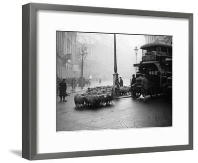 City Sheep--Framed Photographic Print
