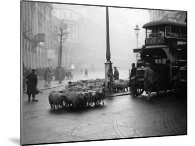 City Sheep--Mounted Photographic Print