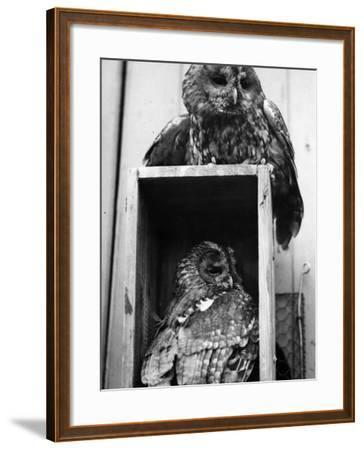 Owls Sleep--Framed Photographic Print