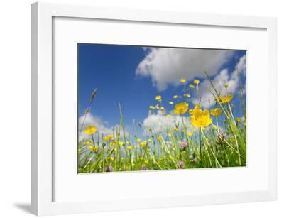 Meadow of Grass and Blooming Summer Buttercups under Blue Sky-Echo-Framed Photographic Print