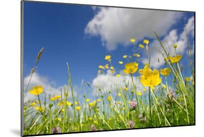 Meadow of Grass and Blooming Summer Buttercups under Blue Sky-Echo-Mounted Photographic Print