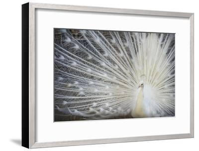 White Peacock-Aliraza Khatri's Photography-Framed Photographic Print