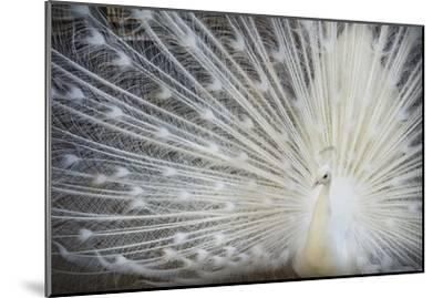 White Peacock-Aliraza Khatri's Photography-Mounted Photographic Print