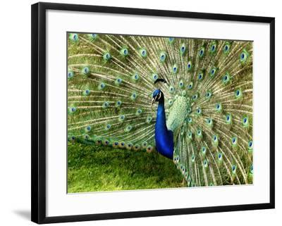 Peacock-This Image Belongs To Jean Turner-Framed Photographic Print