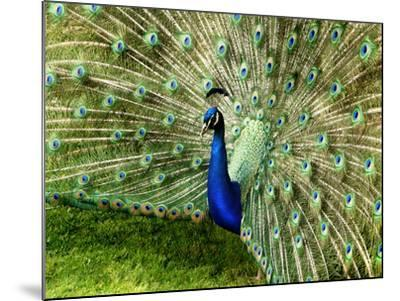 Peacock-This Image Belongs To Jean Turner-Mounted Photographic Print
