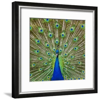 Peacock Displaying its Colorful Feathers-Stuart Dee-Framed Photographic Print