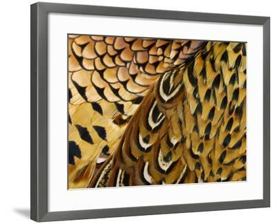 Detail of Pheasant Feathers-Jeffrey Coolidge-Framed Photographic Print
