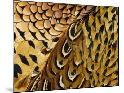 Detail of Pheasant Feathers-Jeffrey Coolidge-Mounted Photographic Print