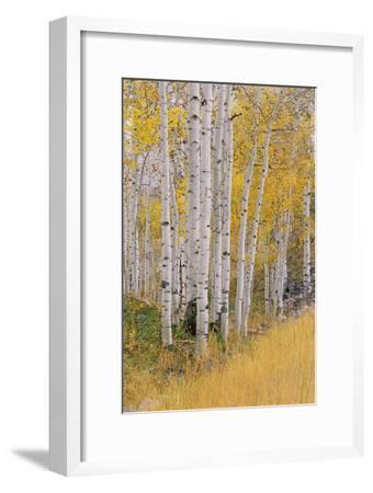 Aspen Trees in Autumn with White Bark and Yellow Leaves. Yellow Grasses of the Understorey. Wasatch-Mint Images - David Schultz-Framed Photographic Print