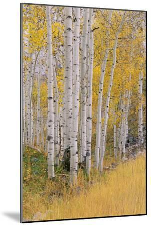 Aspen Trees in Autumn with White Bark and Yellow Leaves. Yellow Grasses of the Understorey. Wasatch-Mint Images - David Schultz-Mounted Photographic Print