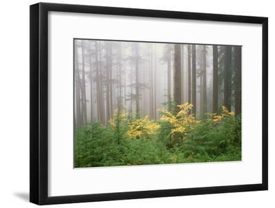 Hemlock and Vine Maple Trees in the Umpqua National Forest. Green and Yellow Foliage.-Mint Images - David Schultz-Framed Photographic Print
