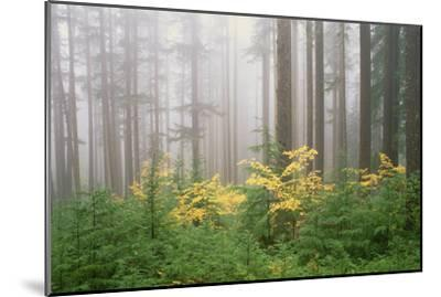 Hemlock and Vine Maple Trees in the Umpqua National Forest. Green and Yellow Foliage.-Mint Images - David Schultz-Mounted Photographic Print