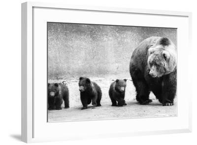 Bear Family-Evening Standard-Framed Photographic Print