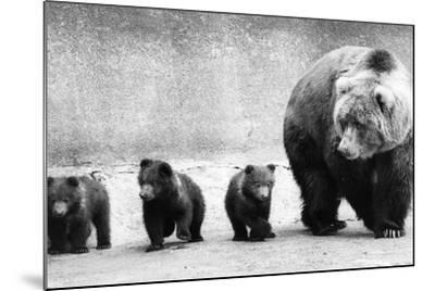 Bear Family-Evening Standard-Mounted Photographic Print
