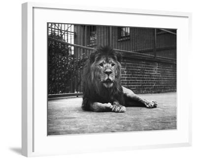 Sultan the Lion--Framed Photographic Print