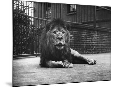Sultan the Lion--Mounted Photographic Print