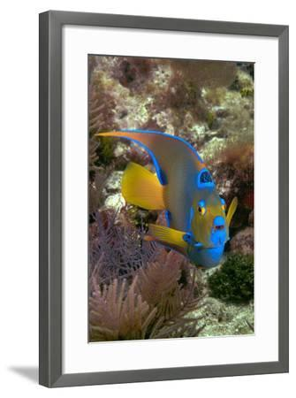Queen Angel Angelfish Holacanthus Ciliaris, Florida Keys National Marine Sanctuary, Key Largo Flori-Dickson Images-Framed Photographic Print