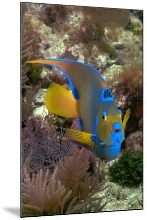 Queen Angel Angelfish Holacanthus Ciliaris, Florida Keys National Marine Sanctuary, Key Largo Flori-Dickson Images-Mounted Photographic Print