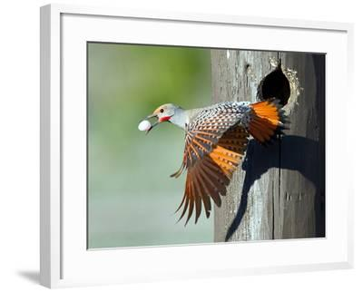 Northern Flicker-CR Courson-Framed Photographic Print