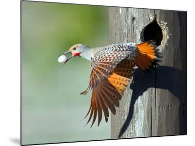 Northern Flicker-CR Courson-Mounted Photographic Print
