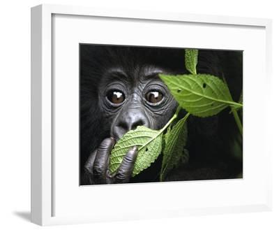 Baby Mountain Gorilla, North West Rwanda-David Yarrow Photography-Framed Photographic Print