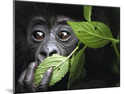 Baby Mountain Gorilla, North West Rwanda-David Yarrow Photography-Mounted Photographic Print