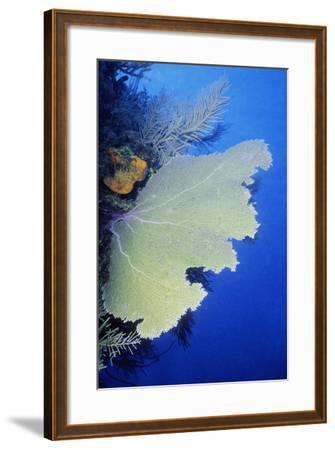 Close-Up of a Common Sea Fan (Gorgonia Ventalina), Cayman Islands, West Indies-Glowimages-Framed Photographic Print