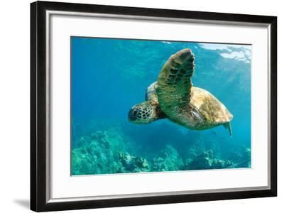 Sea Turtle Fly-M Sweet-Framed Photographic Print