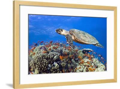 Hawksbill Sea Turtle-Georgette Douwma-Framed Photographic Print