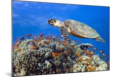 Hawksbill Sea Turtle-Georgette Douwma-Mounted Photographic Print