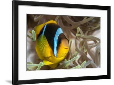 Clark's Anemonefish-Lea Lee-Framed Photographic Print