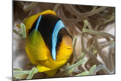 Clark's Anemonefish-Lea Lee-Mounted Photographic Print