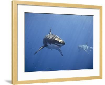 Two Great White Sharks-Photo by George T Probst-Framed Photographic Print