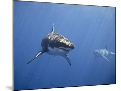 Two Great White Sharks-Photo by George T Probst-Mounted Photographic Print