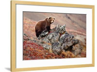 Denali Brown Bear-Image courtesy of Jeffrey D. Walters-Framed Photographic Print