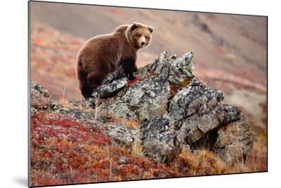 Denali Brown Bear-Image courtesy of Jeffrey D. Walters-Mounted Photographic Print