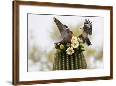 Dove and Woodpecker on Blooming Saguaro Cactus-barbaracarrollphotography-Framed Photographic Print