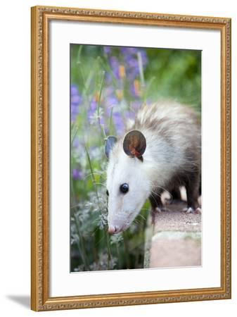 Pet Possum-Grove Pashley-Framed Photographic Print