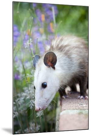 Pet Possum-Grove Pashley-Mounted Photographic Print