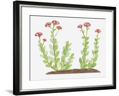 Illustration of Sedum Telephium (Orpine), Succulent Plant with Red Flowers-Ann Winterbotham-Framed Photographic Print