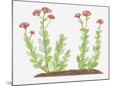 Illustration of Sedum Telephium (Orpine), Succulent Plant with Red Flowers-Ann Winterbotham-Mounted Photographic Print